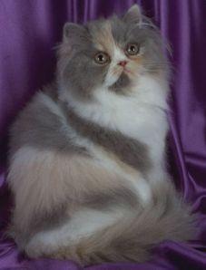 gato-persa3