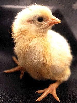 pollo20