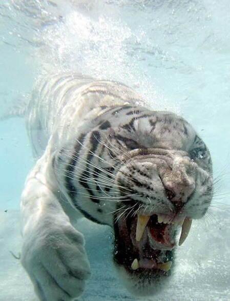 tigre-agua1
