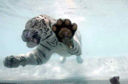 tigre-agua2