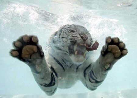 tigre-agua4