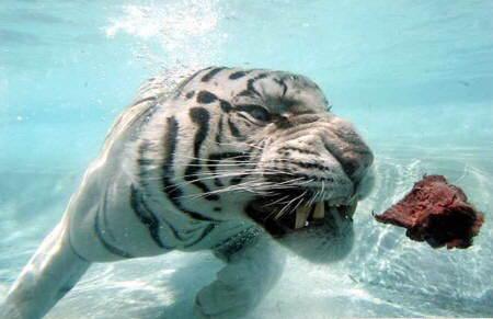 tigre-agua5