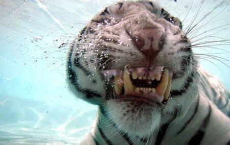 tigre-agua7