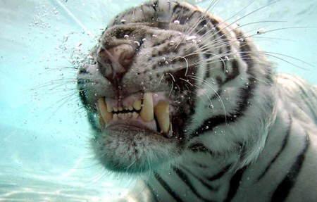 tigre-agua8