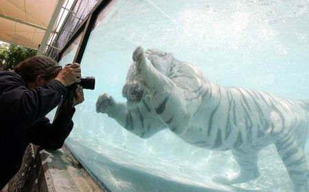 tigre-agua9