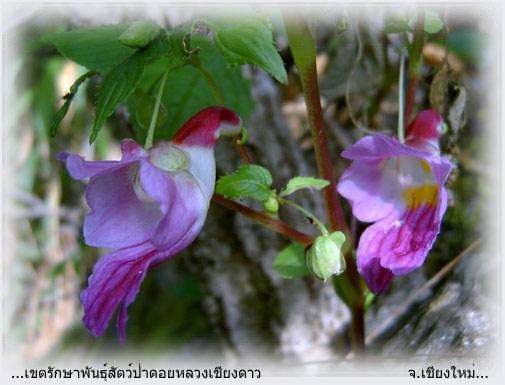 Flor Perico4